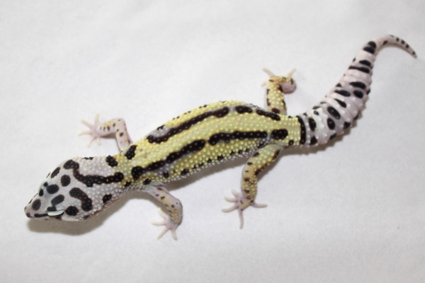 mack-bold-stripe-male