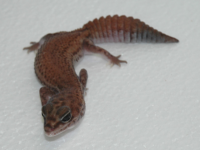 female patternless fattail