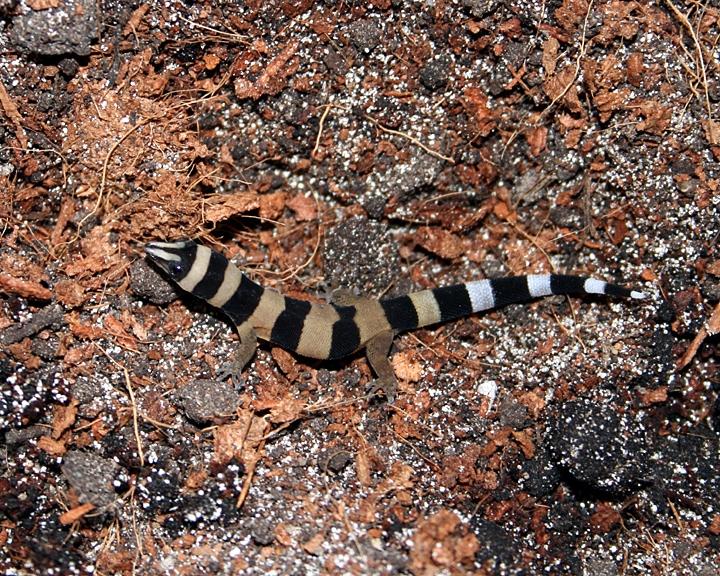 w-sphaerodactylus-torrie