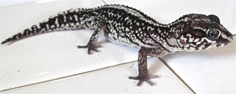 Three To Get Ready Paroedura Gecko Time Gecko Time