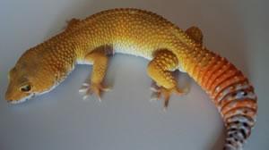 daidrasalyers-leopard-gecko-lair