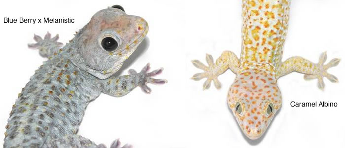 blueberry-and-albino-tokay-gecko