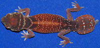 levis-levis-geckosetc