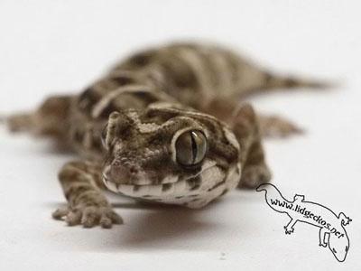 lidgeckos_net