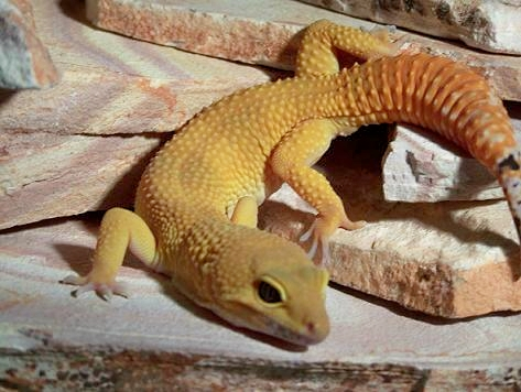 gecko photo