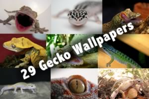 29 Gecko Wallpapers
