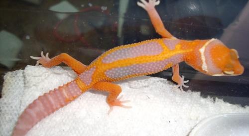 Leopard-Gecko