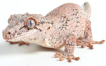 pangea-crested-gecko