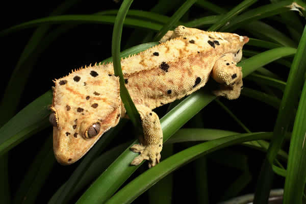 pangea-dalmation-crested-gecko