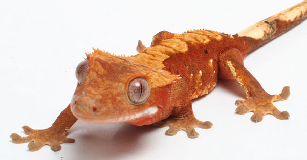 red-flame-crested-gecko