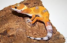 hypo-leopard-gecko