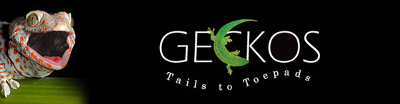 geckos-tails-to-toepads