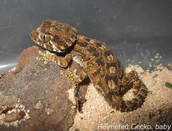 helmeted-gecko_chazalia_baby