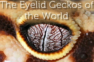 Winking Geckos: The Eyelid Geckos of the World