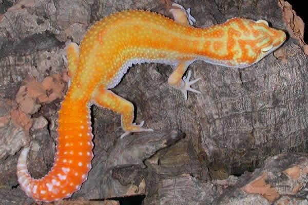 albino-redstripe-leopard-gecko