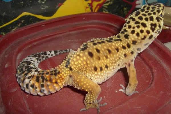 dwarf leopard gecko