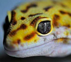 leopard-gecko-head