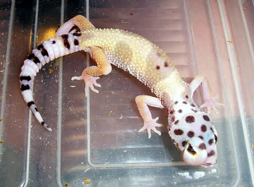 swollen-gecko-eye