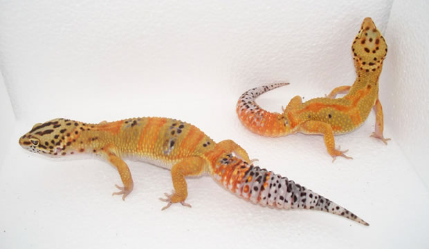 Small Breeder Interview: Daidra from Leopard Gecko Lair