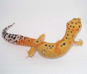 Small Breeder Interview: Daidra from Leopard Gecko Lair - Gecko Time