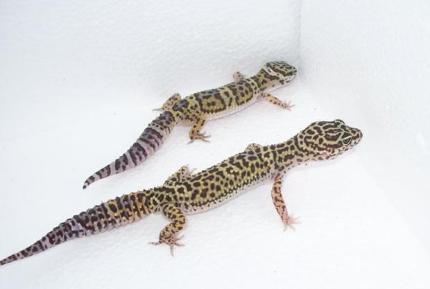 wild gecko
