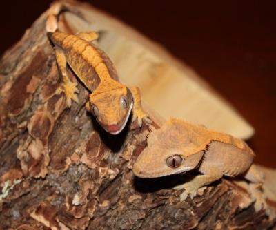 ciliatus crested geckos