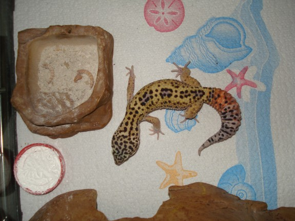 Leopard Gecko on Paper Towels