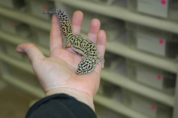 Adult female Afghan leopard gecko