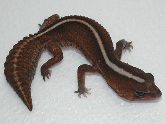 Patternless Fattail Gecko