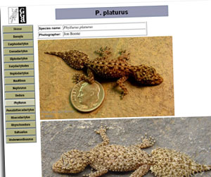 P. platurus