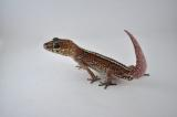 Pictus Gecko named Big Red