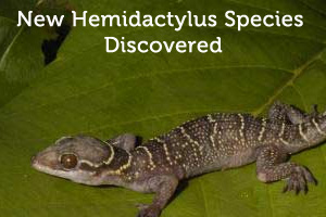 New Hemidactylus Species
