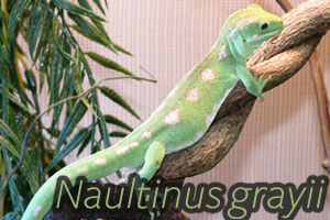 Naultinus grayii: the Northland Green Gecko