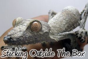 Sticking to the Outside of the Box: Four Oddball Gecko Species