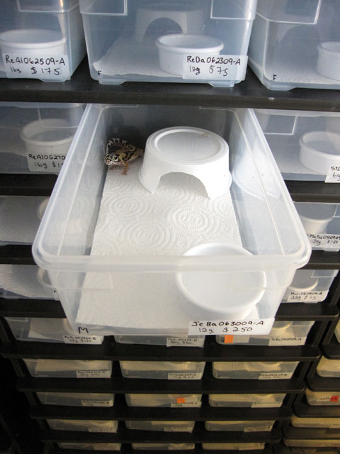 Leopard gecko racks