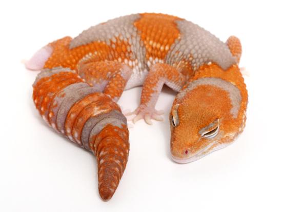 albino african fattail gecko