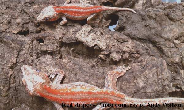 Red stripe Rhacodactylus auriculatus