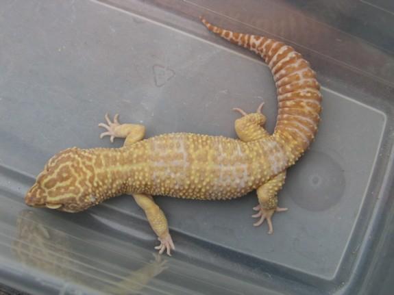 Male Tremper Albino Leopard Gecko