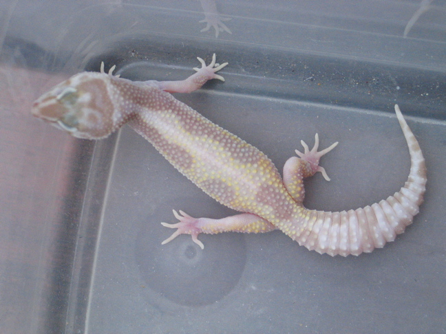 Baby Bell Albino Leopard Gecko