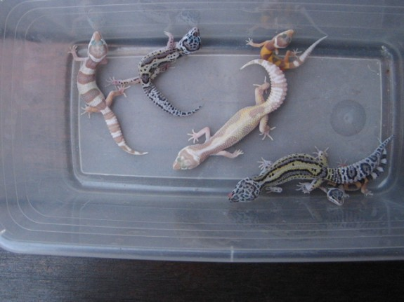 Leopard Gecko offspring from the pair above