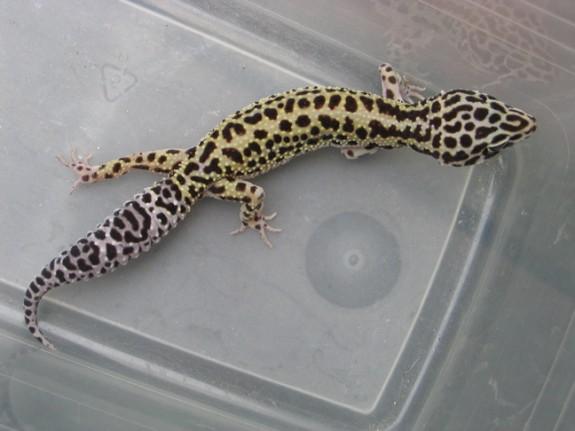 Zora, Female Snow Stripe het Tremper Albino Leopard Gecko