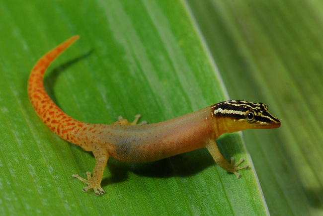 Sphaerodactylus mollei