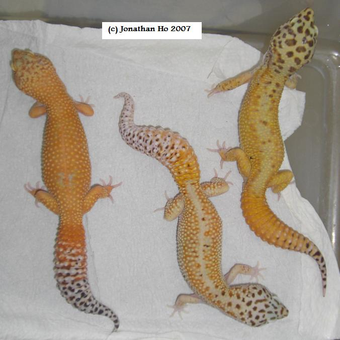 Offspring produced by author showing variation of body coloration, body patterns and carrottail percentage.