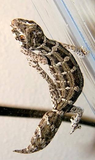 climbing viper gecko