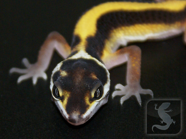 Halloween Mask Leopard Gecko.Shannon S Quickie Interview With Albey Scholl The Halloween Mask