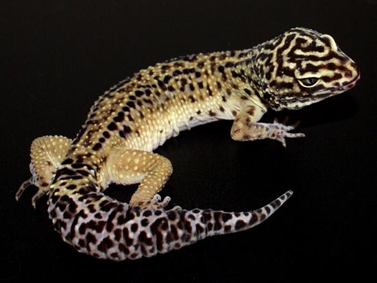 Halloween Mask Leopard Gecko