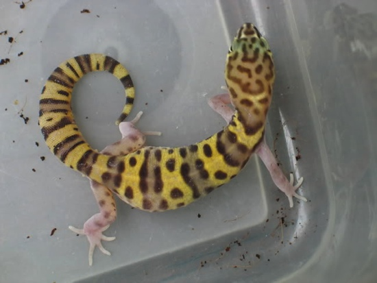 banded gecko female