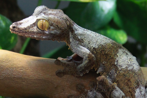 Three to Get Ready: Uroplatus