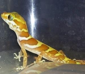 Pictus gecko eyes