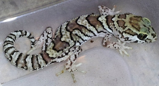 picta gecko